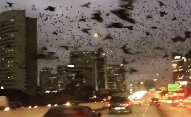 Como salidos de Los Pájaros: miles de aves invaden Houston