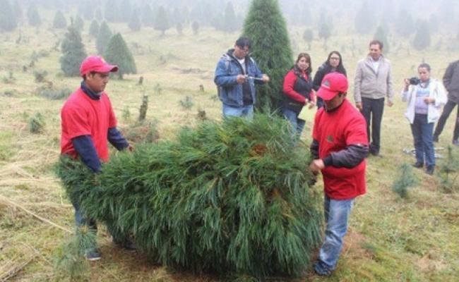 Recolectan 850 pinos navideños en Hermosillo