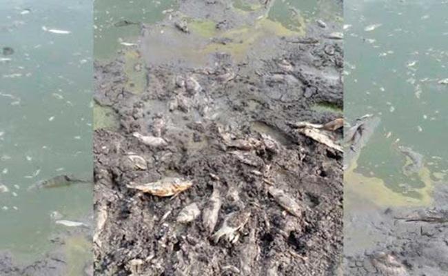 Mueren peces por falta de agua en la presa de Molcaxac