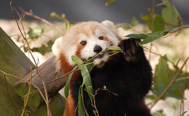 Extravían panda rojo en el Zoológico de Virginia