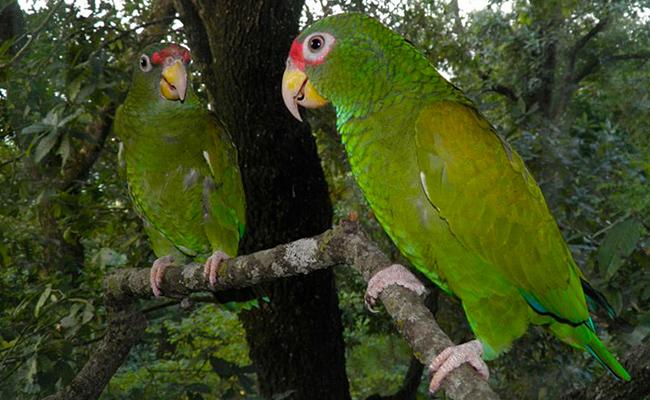 Hallan en México nueva especie de loro que tiene inusual plumaje azul