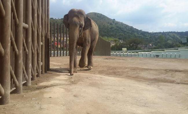 Profepa investiga muerte del elefante Benny