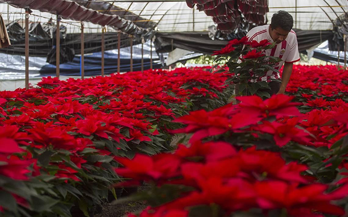 Nochebuenas resienten el frío en el Edomex