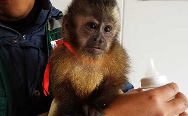 Rescatan a mono encerrado en una maleta de viaje en Perú
