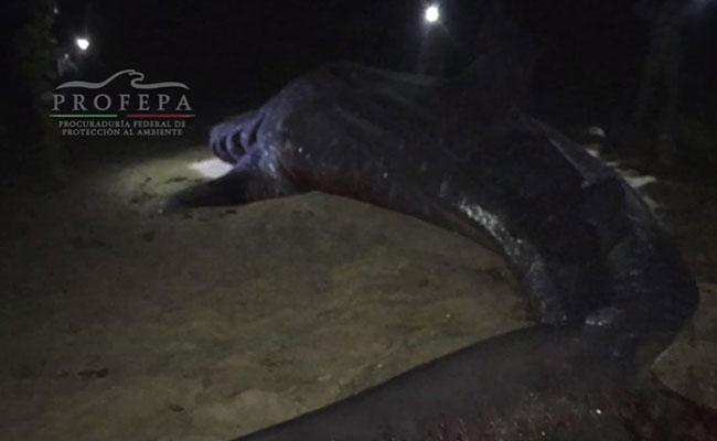 Lo más triste: tiburón ballena queda varado en Baja California