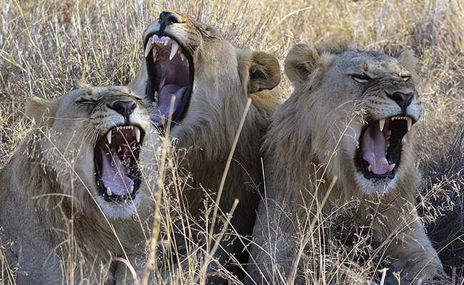 Se agudiza la caza furtiva de leones en África