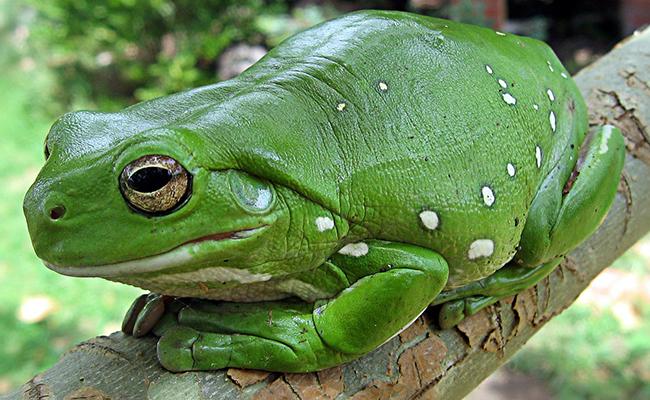 Revelan orígenes de las ranas; coexistieron con dinosaurios ?