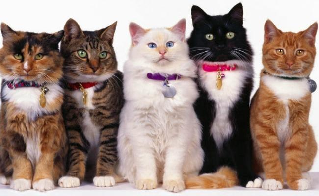 Crece preferencia por los gatos entre los mexicanos