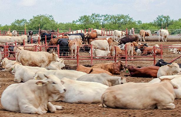 Restricciones comerciales de Trump atemorizan a ganaderos de Chihuahua