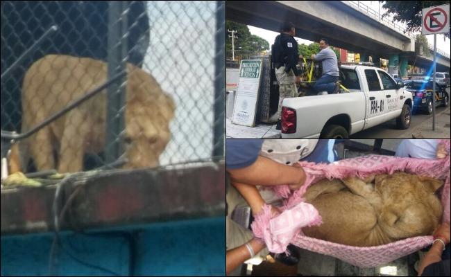 Rescatan en la Merced a león enjaulado