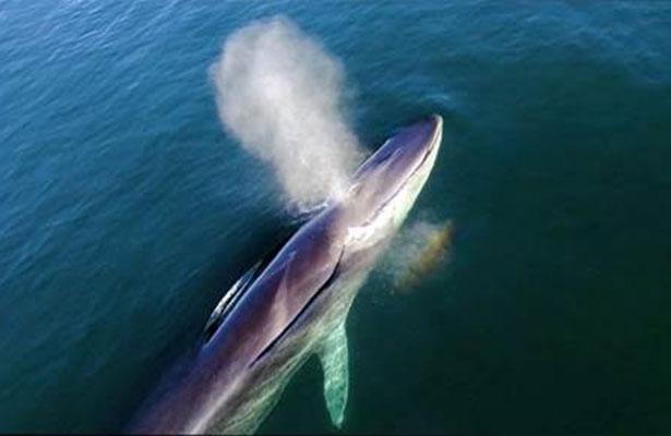 Se duplica la presencia de ballena azul en bahía Loreto