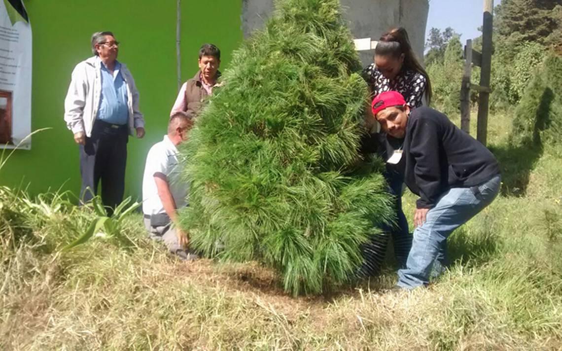 Toda una tradición: elegir el árbol de Navidad perfecto