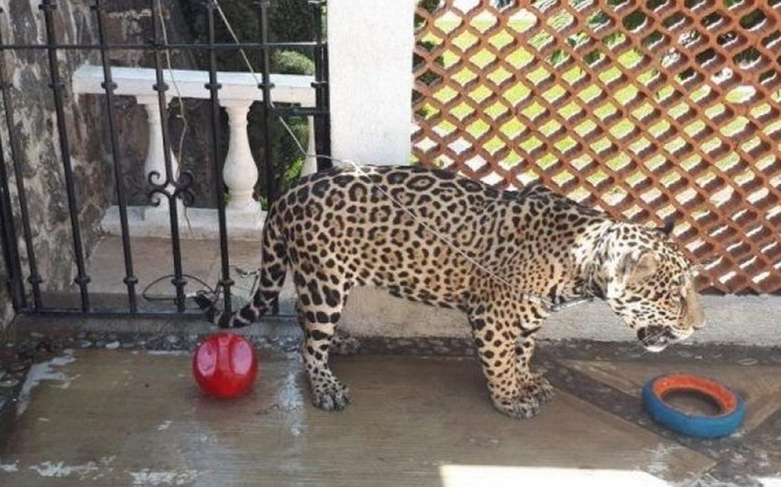 Rescatan a jaguar encadenado en casa sin garras ni colmillos