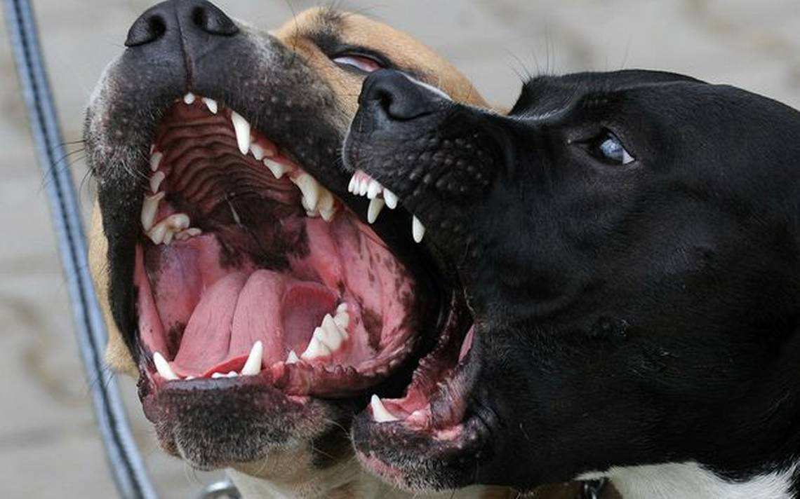Perros pitbull asesinan a menor de edad que olvidó sus llaves en casa