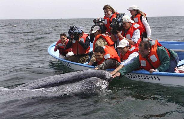 Disminuyen visitantes para avistamiento de ballenas en BCS