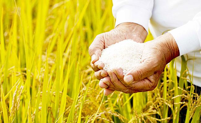Mercado mexicano abre la posibilidad para la compra de arroz paraguayo