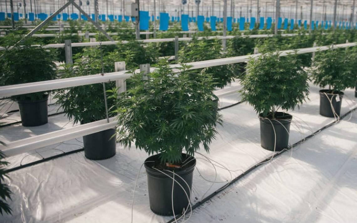 Propietaria de Corona en EU entra al negocio de la marihuana
