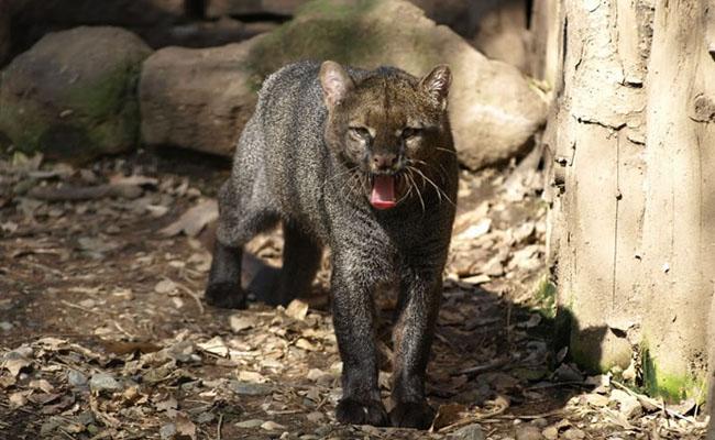 Profepa rescata a felino jaguarundi en Tabasco