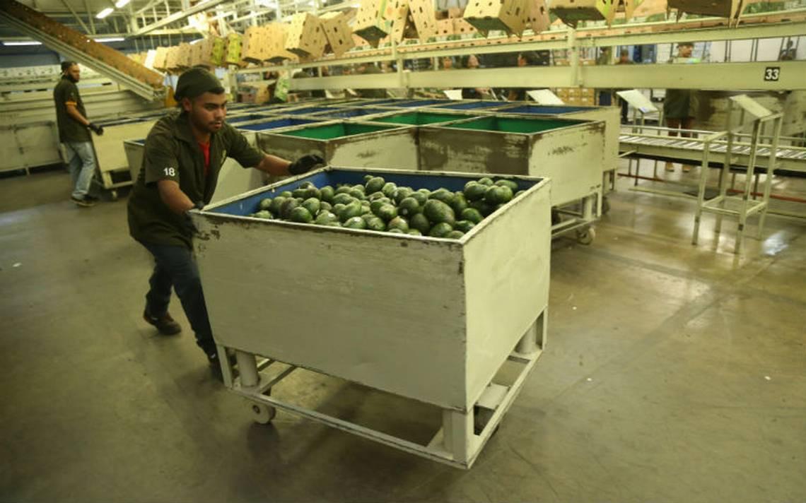 México logra histórica venta de aguacate y limón hacia China y EU