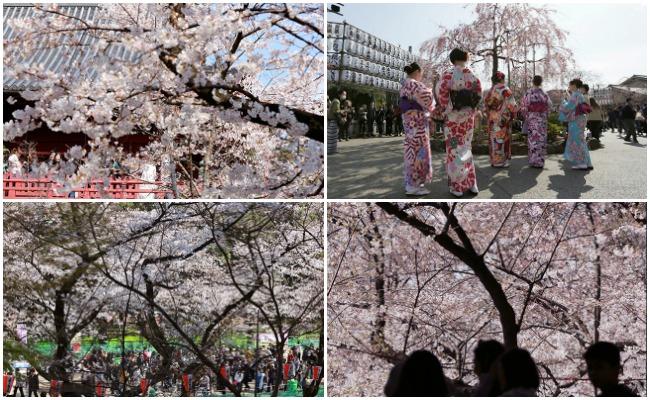 Tokio se tiñe de rosa por el inicio de la primavera