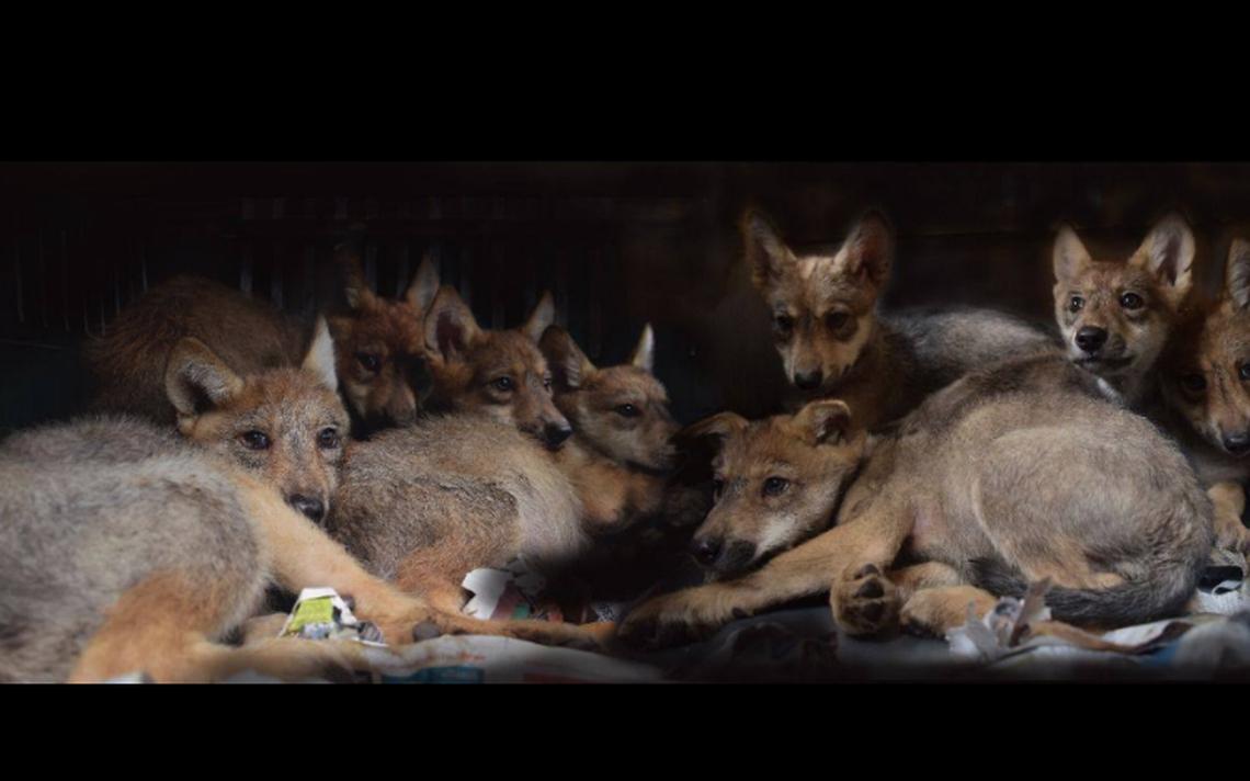 Abren concurso para ponerle nombre a los lobos nacidos en Zoológico Los Coyotes