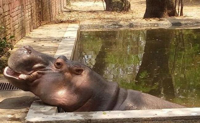 Muere hipopótamo que fue atacado por humanos en zoológico