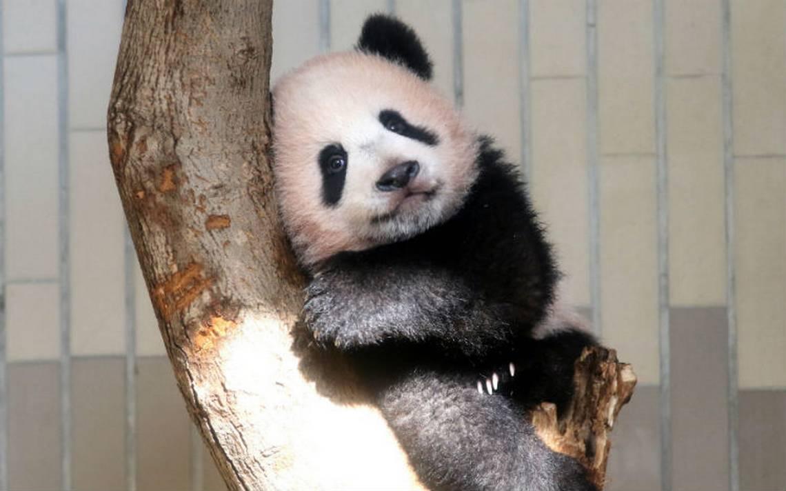 Adorable bebé panda hace su 'presentación' en Tokio