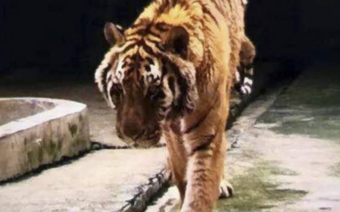 """Tigre mata a cuidador de parque que vendía """"vino milagroso"""""""