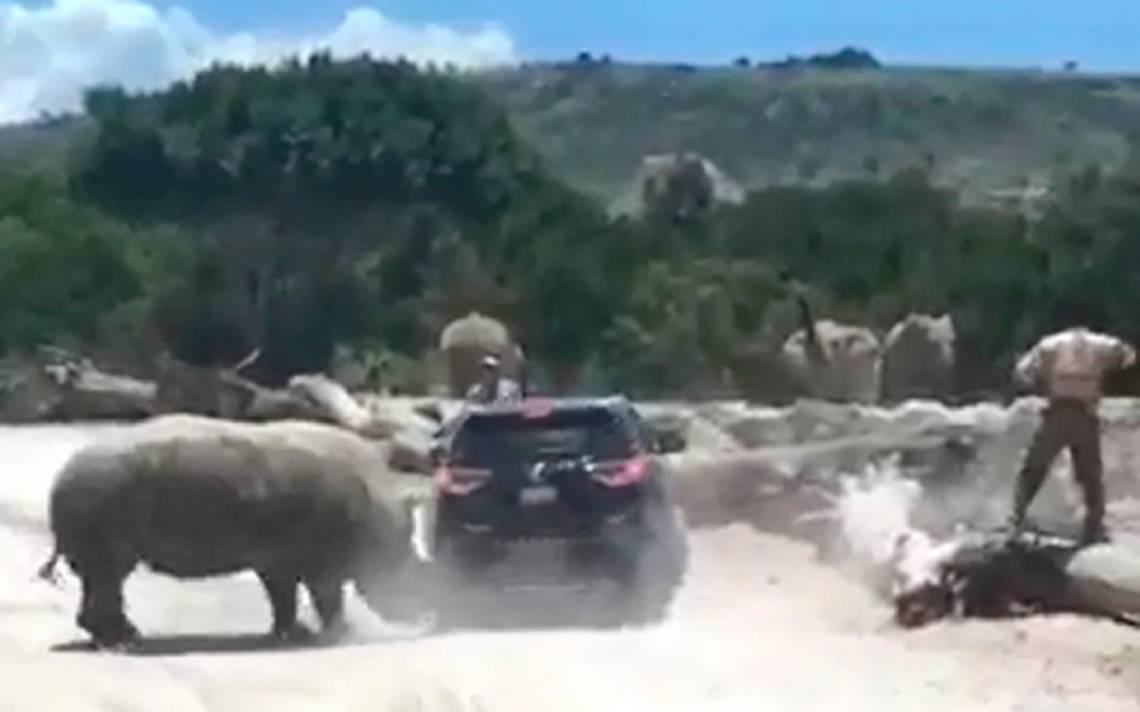 [Video] ¡Terror a bordo! Rinoceronte ataca a familia en Africam Safari