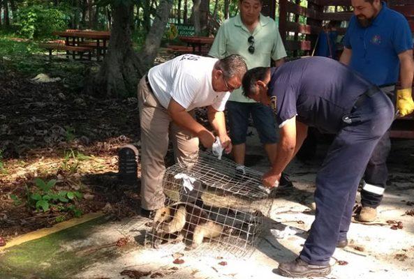 Liberan en el Parque Ecológico a oso hormiguero
