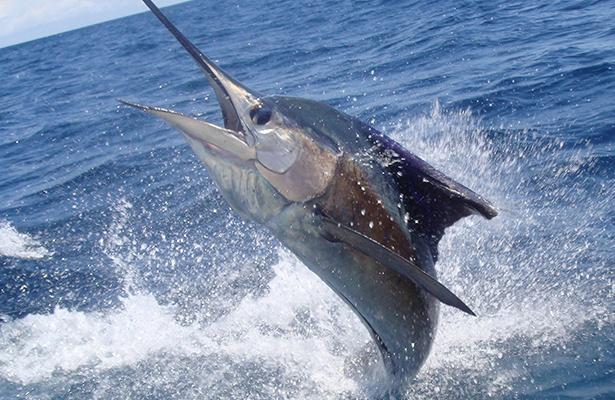 Pescadores de tiburón sin poder trabajar por veda