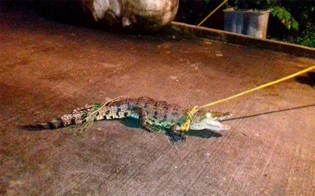 Capturan lagarto que deambulaba en la vía pública