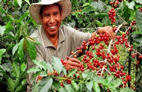 El cultivode café en Landa de Matamoros representa un gran aliciente para aproximadamente 200 productores locales.