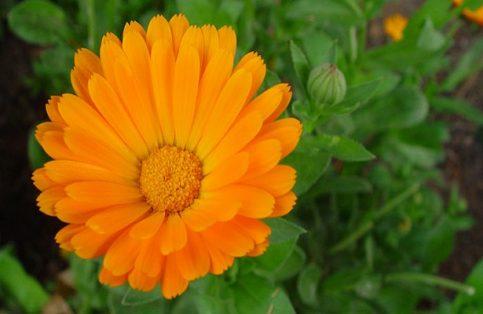 La caléndula conocida popularmente como flor de difunto, maravilla o flamenquilla, es una planta con flores vistosas en tonos naranja y amarillo y es originaria de México.