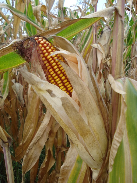 El maíz palomero lo caracteriza sus granos que explotan al calentarse porque tienen una cáscara dura que sella la humedad dentro, que desde la antigüedad se le considera versátil y nutritivo.