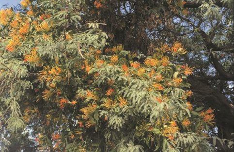 El muérdago es una planta parásita o semiparásita con flores que se unen al tallo de su hospedero, compite con él por agua y nutrimentos e impide su desarrollo.