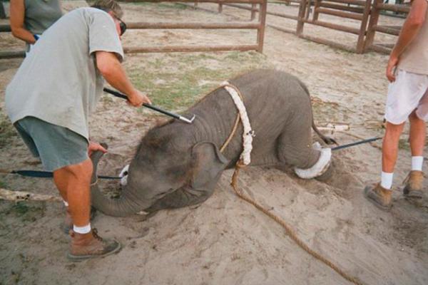 Denuncian maltrato de elefantes en zoológico alemán
