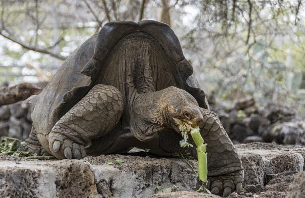 """El programa de reproducción, que incluye a 32 tortugas de las cuales 19 tienen ascendencia de la especie Chelonoidis niger, """"permitirá, a mediano plazo, repoblar la isla Floreana. (Foto: EFE)."""