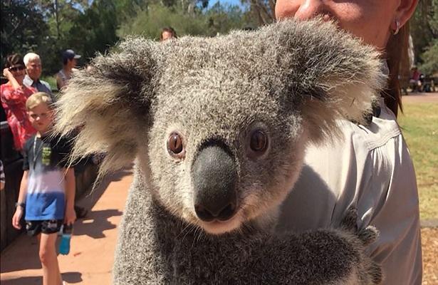 Encontrada la koala que había escapado de un zoo de Australia