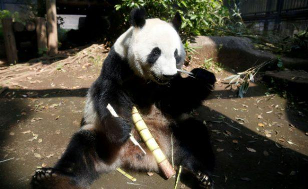 Por primera vez en cinco años, nace panda gigante en Tokio