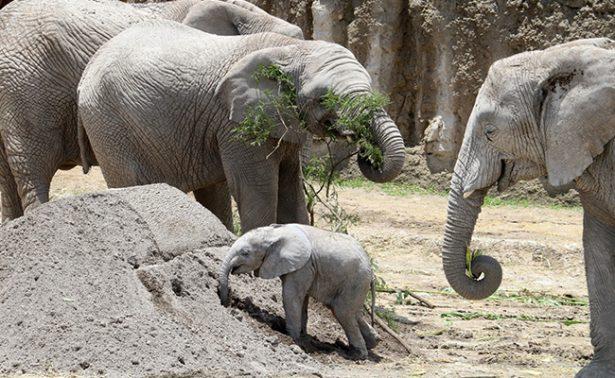 Puebla presume nacimiento de su primer elefante africano