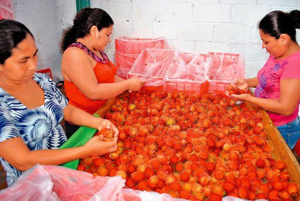 Exportarán rambután de  Chiapas al Medio Oriente