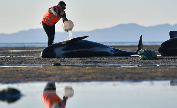 Lo más triste: mueren 350 de las ballenas varadas en Nueva Zelanda
