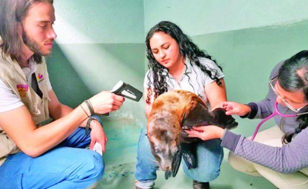 Atienden a cachorro de lobo marino abandonado en Morelia