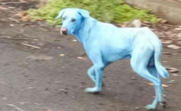 Sorprende aparición de perros azules en la India