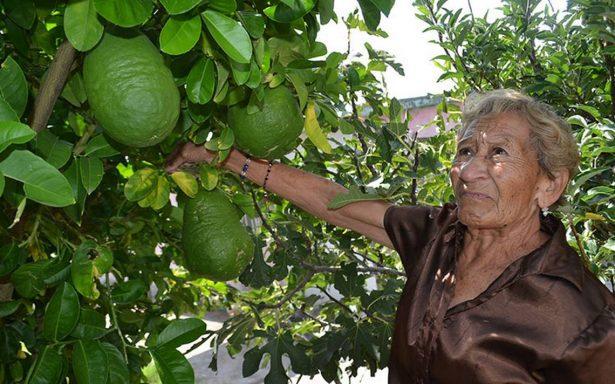 ¡Árbol da limones del tamaño de un melón!