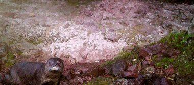 Bonita sorpresa: cámara descubre que hay nutrias en Chihuahua
