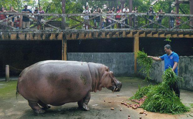 Bertha, la decana de los hipopótamos, muere a los 65 años
