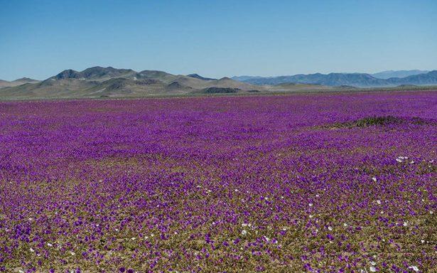 Lluvias vuelven florido el desierto de Atacama
