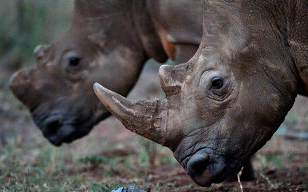Subastan cuernos de rinoceronte por internet y defensores están furiosos